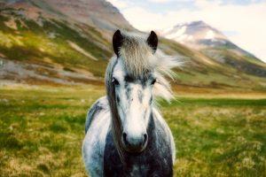 iceland-horse